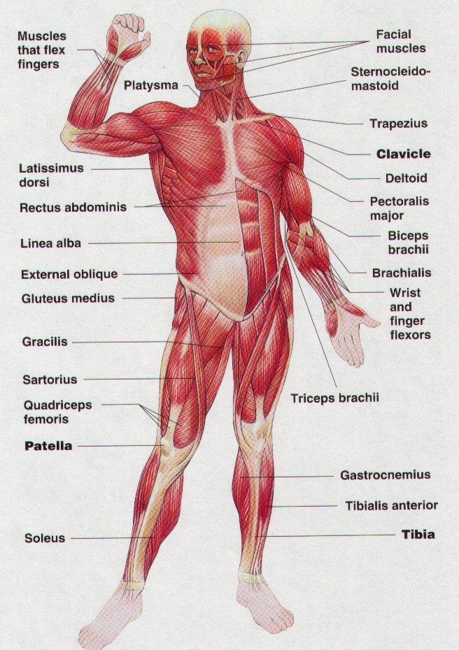 Unit 6. Skeletal Muscles