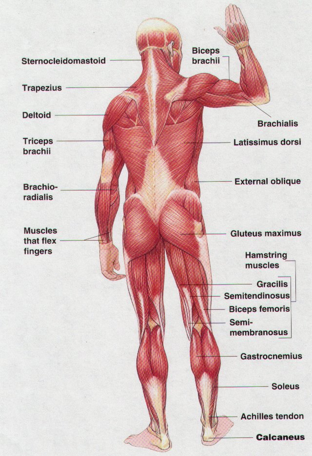 unit 6. skeletal muscles, Muscles